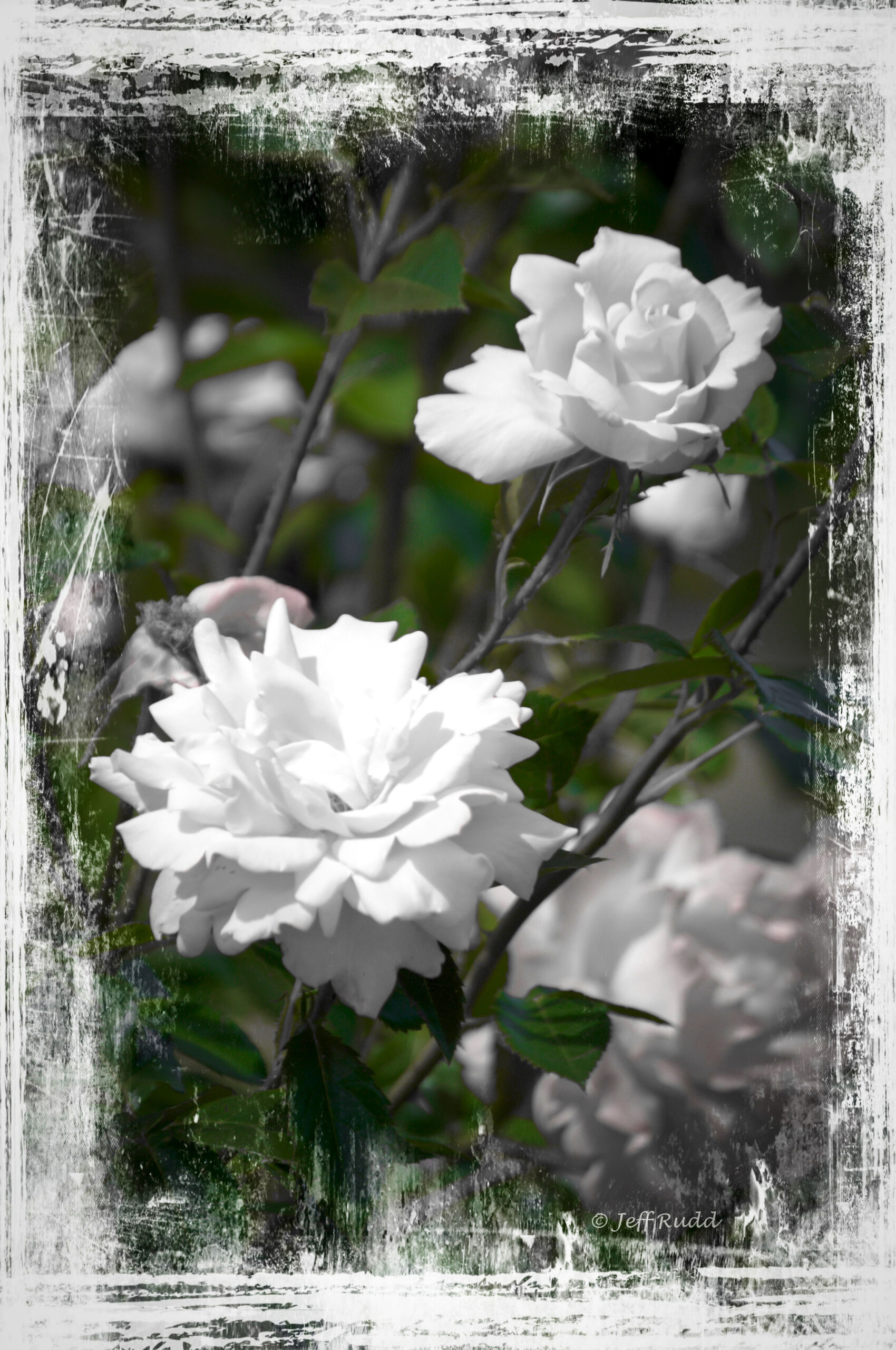 White Rose wm